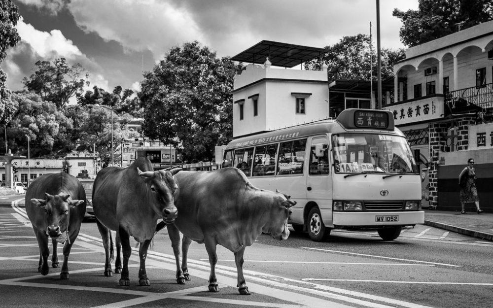 feral cows walking through Sai Kung.